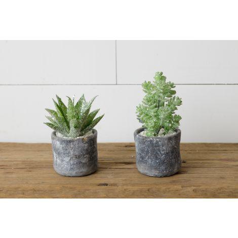 Winter Succulents in Pots